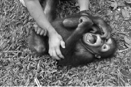 TickledChimpanzee